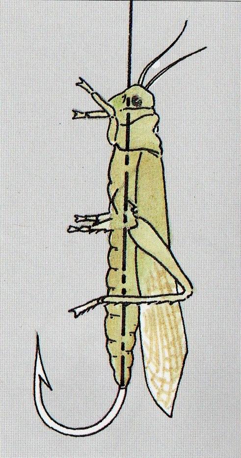 sauterelle fario